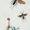 Pompilus: Pompilus formosus, Pompilus unifasciatus, Pompilus turminatus.