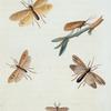 Phryganea: Phryganea subfasciata, Phryganea dossuaria, Phryganea semifasciata, Phryganea interrupta.