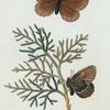 Hipparchia: Hipparchia semidea.