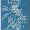 Cystoseira ericoides.