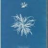 Ectocarpus tomentosus