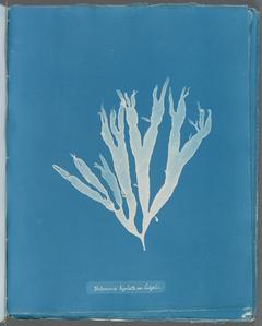 Halymenia ligulata var. latifolia.