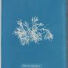 Delesseria angustissima
