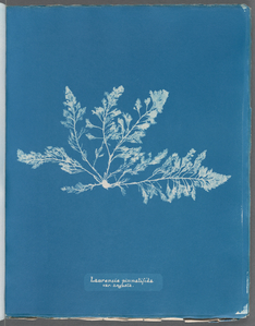 Laurencia pinnatifida var. angusta.