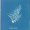 Griffithsia setacea.