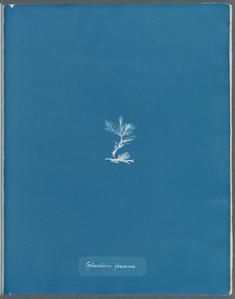 Sphacelaria plumosa.