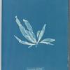 Laminaria phyllitis