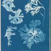 Rhodomenia laciniata.