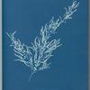 Sargassum bacciferum