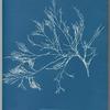 Cystoseira foeniculacea