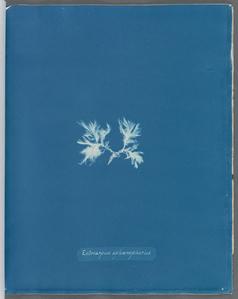 Ectocarpus sphærophorus.