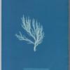 Ectocarpus siliculosus