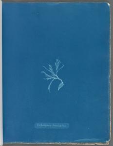 Ectocarpus brachiatus.