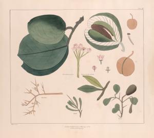[Tropical plants.] The plant named Oshour by Burckardt; Basillah; Suvaroe; Debbo; Egley.