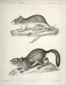 1. Dipodomys ordii, Pouched Jumping Mouse (Fort Laramie, south); 2. Tamias townsendii var. cooperii, Cooper's Ground Squirrel.