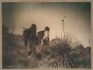 Harvesting mescal, Apache.