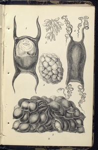 1. Egg of Skate; 2. Eggs of Pupura; 3. Egg-claster of Whelk; 4. Egg of Dog-fish; 5.  Egg-cluster of Serpia, or Cuttle.