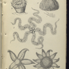 1. Caryophulli Smithii, Common Madrepore; 2. Echinus Sphære, Urchin, or Sea-egg; 3. Ophiocoma rosula, Brittle-star; 4. Uraster rubens, Five-finger star; 6. Solaster papposa, Sun -star.