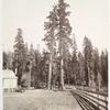 The Sentinels, Big Tree Grove.