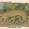 Tasmanian Wolf.