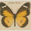 Danaida Petilia.
