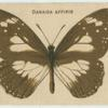 Danaida Affinis.