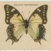 Eulepis Sempronius.