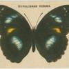 Hypolimnas Nerina.