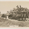Harvesting, Cowra.
