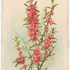 Hypocalymna robustum (Pink Myrtle).