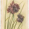 Sowerboea juncea (Corn flower).