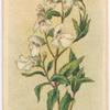 Prostanthera lasianthus (Native Lilac).