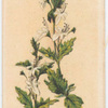 Teucrium corymboides [corymbosum](Corymb-flowered Teucrium).