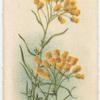 Helichrysum semipaposum [semipapposum](Everlastings).