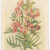 Boronia pinata (Pink Boronia).