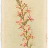 Candollea graminifolium (Springback).