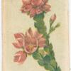 Boronia serrulata (Native Rose).