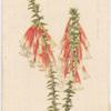 Epacris longiflora (Native Fuchsia).