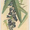 Hardenbergia monophylla (False Sarsaparilla).