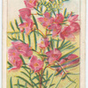 Pink Boronia (Boronia pinnata).