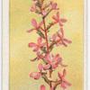 Springback, or Trigger Plant (Stylidium graminifolium).