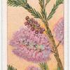 Heath-leaved Tea Tree (Melaleuca ericifolia).