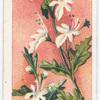 Corymb-flowered Teucrium (Teucrium corymbosum).