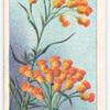 Everlasting Flower (Helichrysum semipapposum).