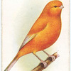 Norwich Canary (Plainhead).