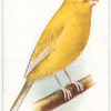 Clear Crest-Bred Canary.