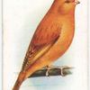 Yellow Cinnamon Canary.