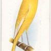 Lancashire Canary.