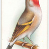 Goldfinch-Bullfinch Hybrid.