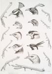 Pavo cristatus, Polyplectron thibetanum, Argus giganteus, Crossoptilon mantchuricum. Lophorphorus impeyanus, Tetraophasis obscurus, Ceriornis Temmincki, Pucrasia macrolopha. Meleagris callopavo.